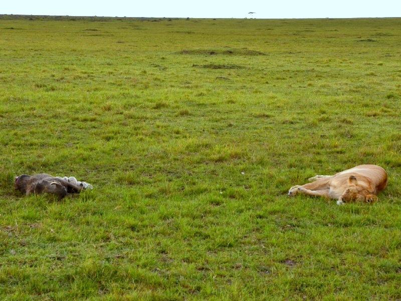 Хищники на отдыхе в национальном парке Масаи-Мара, Кения / Фото из Кении