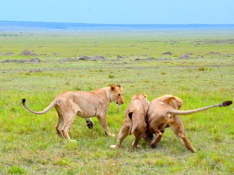Львиная охота в национальном парке Масаи-Мара, Кения / Фото из Кении