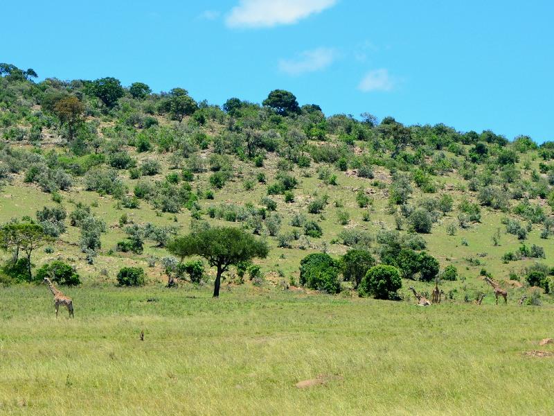 Жирафы, Кения / Фото из Кении