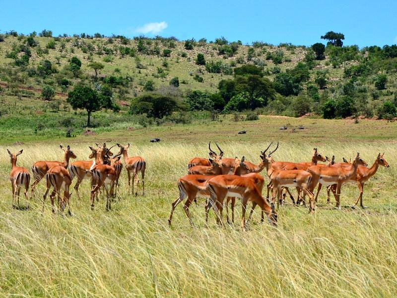 Антилопа импала / Фото из Кении