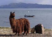 Южноамериканский верблюд / Боливия