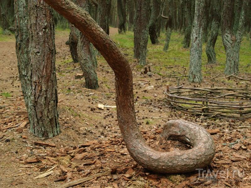 Сосны невероятной формы, Танцующий лес / Россия