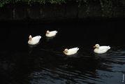 Белые утки / Нидерланды