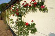 Красивые розы / Великобритания