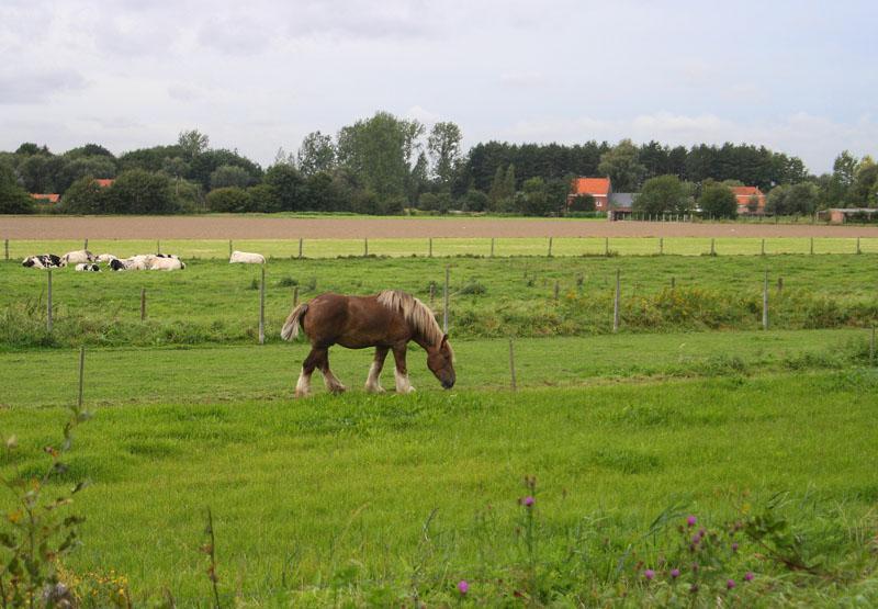 На лугах Фландрии / Фото из Бельгии