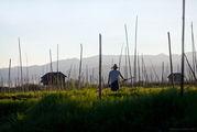 Плавучий огород на озере Инле / Мьянма
