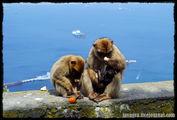 Обезьянам повезло / Гибралтар (Брит.)