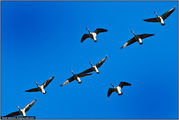 Летящие птицы / Канада