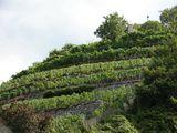 Виноградники / Швейцария
