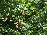 Яблоки на ветках / Швейцария