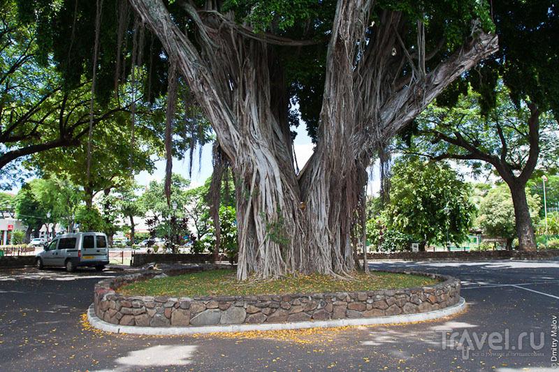 Огромное дерево на Таити / Фото из Французской Полинезии