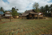 Рисовые стебли / Лаос
