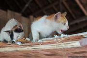 Котята едят рис / Лаос