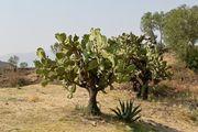 Есть кактусы / Мексика