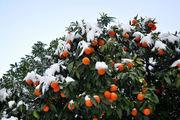 Апельсины под снегом / Италия