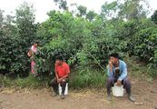 Кофейная плантация / Панама