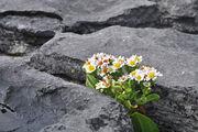 Цветы на скалах / Ирландия