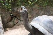 Огромная черепаха / Сейшелы