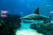 Молодая акула / Португалия