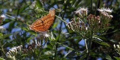 Бабочка Марпезия / Мексика