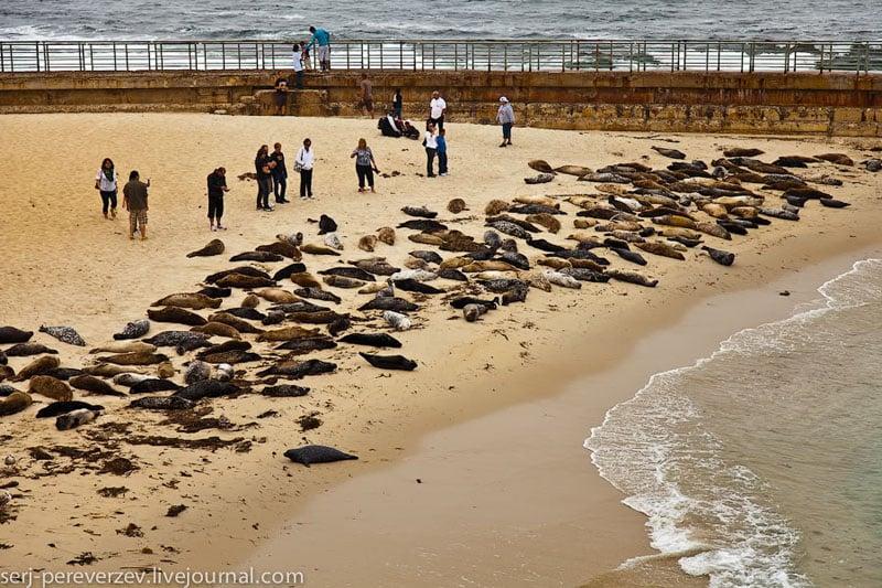 Лежбище морских зверей в Ла-Хойе, Калифорния / Фото из США