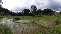 Рисовые поля / Индонезия