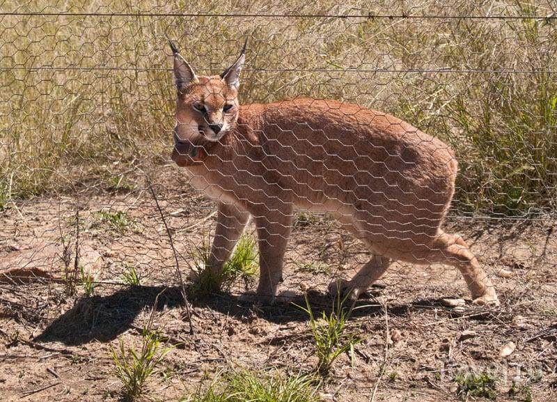 Каракала - красивая, но злобная кошка / Фото из Намибии