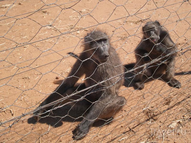Павианы - совсем как люди / Фото из Намибии