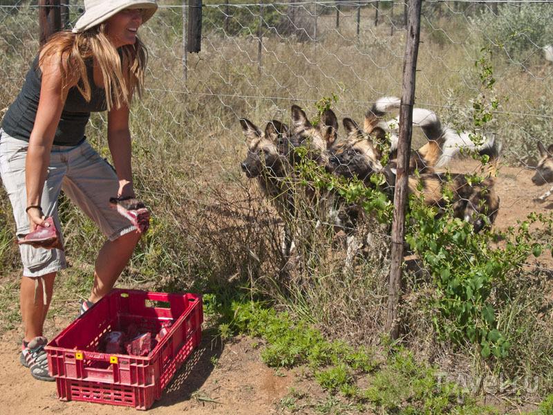 Марлис кормит диких собак / Фото из Намибии