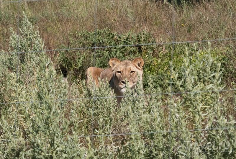 Львица вальяжно разделывается с мясом / Фото из Намибии