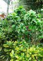 Многочисленные листья / Тайвань