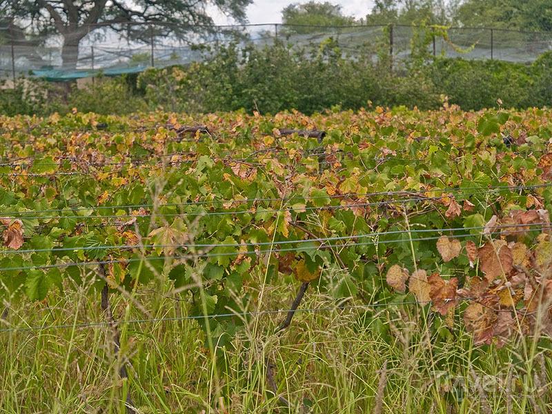 Виноградник в Омаруру / Фото из Намибии