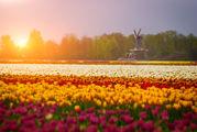 Тюльпановые поля / Нидерланды