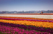 Море цветов / Нидерланды