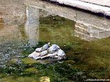 Живые черепахи / Албания