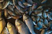Разная рыба / Бангладеш