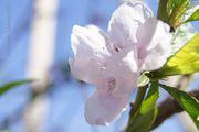 Цветы персика / Узбекистан