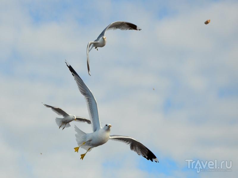 Чайки на Белом море / Фото из России