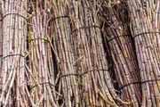 Сахарный тростник / Португалия