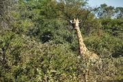 Жираф в зарослях / ЮАР