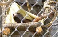 Клетка орангутана / Россия