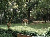 Жирафы / США