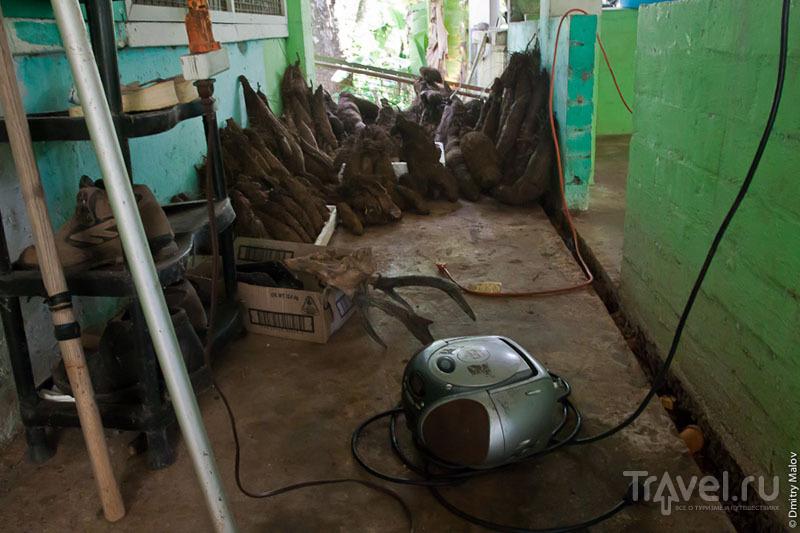 Клубни растения таро, Микронезия / Фото из Микронезии