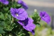 Декоративные цветы / Франция