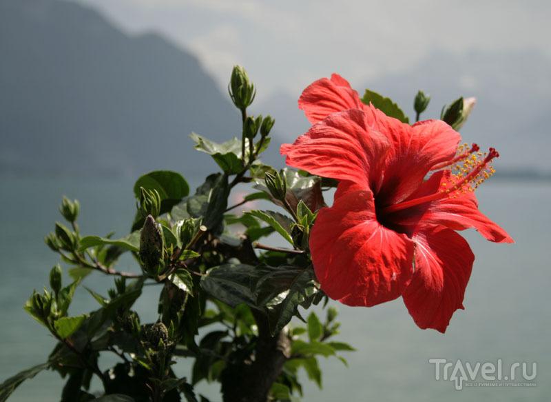 Цветок в Швейцарии / Фото из Швейцарии