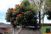 Оранжевые цветы / Гондурас