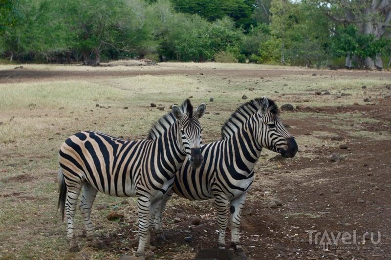 Зебры в парке Казела на Маврикии / Фото с Маврикия