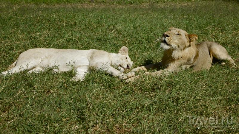 Львы греются на солнце, Casela Nature & Leisure Park, Маврикий / Фото с Маврикия
