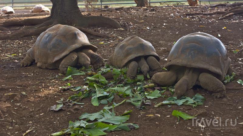 Гигантские черепахи в Casela Nature & Leisure Park, Маврикий / Фото с Маврикия