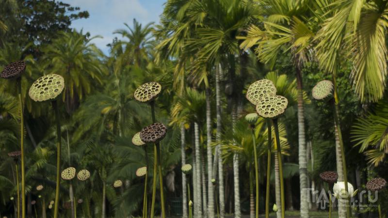 В ботаническом саду Пампльмус на острове Маврикий / Фото с Маврикия